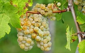 Картинка листья, ягоды, урожай, виноград, гроздь