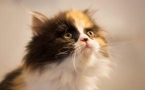 Картинка взгляд, котенок, фон, мордочка