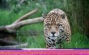 Обои прогулка, ягуар, хищник, морда, дикая кошка