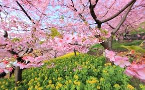 Картинка ветки, дерево, Япония, размытость, сад, сакура, цветение