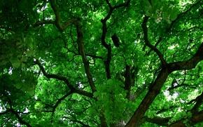 Картинка природа, ветви, листва, зелёный фон, крона дерева