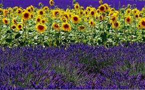 Обои лето, поле, лаванда, подсолнух