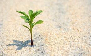 Картинка песок, пляж, макро, жизнь, растение, nature, life, leaves, sands, расток, alive, alone