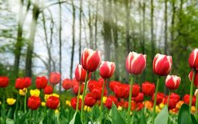 Обои красота, Spring tulips, жёлтые, красные, весна, тюльпаны