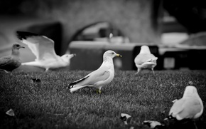 Картинка чайки, клюв, ч/б