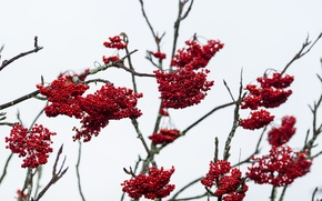 Картинка berries, branches, cloudy