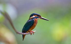 Картинка птица, ветка, Alcedo atthis, kingfisher, Обыкновенный зимородок