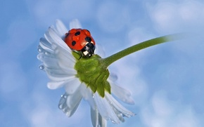 Обои капельки, божья коровка, ромашка, ladybug, chamomile, droplets