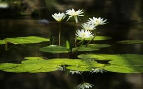 Обои вода, water, кувшинки, leaves, water lilies, листья