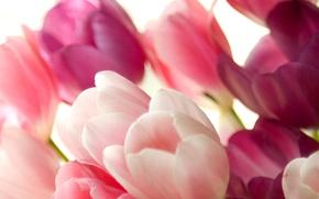 Картинка цветы, Тюльпаны, нежные, розовые