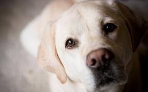Обои собака, мордочка, ретривер, золотистый, лабрадор, нос, глаза
