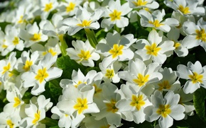 Картинка весна, цветочки, примулы