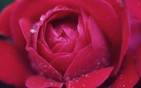 Обои капли, макро, роза
