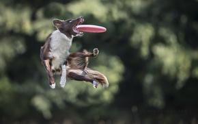 Картинка прыжок, игра, собака, пес, диск, ловит, Border Collie, апорт, фрисби