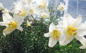 Картинка цветы, лилии, красиво