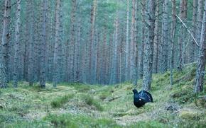 Обои лес, птица, поляна, сосны, глухарь