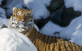 Картинка зима, кошка, взгляд, морда, снег, тигр, амурский тигр, ©Tambako The Jaguar