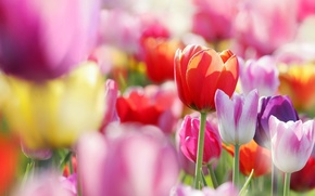 Обои цветы, бутоны, тюльпаны, весна