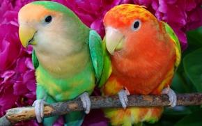 Картинка птица, ветка, перья, клюв, попугай, пара