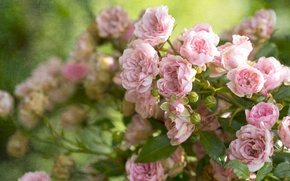 Обои текстура, розы, бутоны