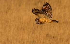 Обои фон, полет, крылья, птица, сова