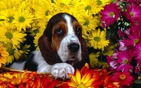 Обои цветы, бассет, Собачка
