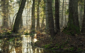 Картинка forest, trees, nature, morning