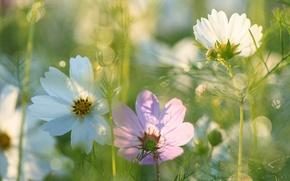 Картинка лето, цветы, красота, космея