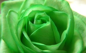 Обои цветы, green, роза, красота, лепестки, flower, Rose, зелёная, beautiful nature wallpapers
