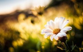 Картинка цветок, лепестки, боке