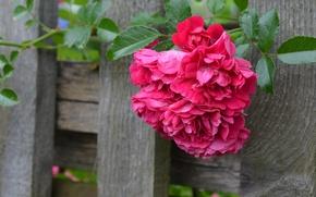 Картинка доски, забор, роза, шиповник