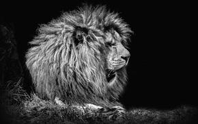 Обои зверь, фон, лев