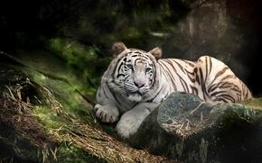 Картинка белый, тигр, хищник, голубоглазый