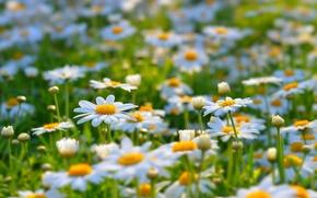 Картинка лето, цветы, природа, поляна, ромашки