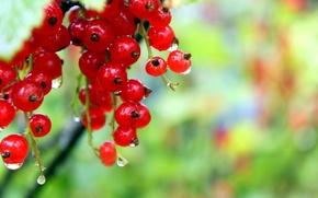 Картинка ягоды, красное, росса
