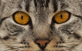 Картинка кошка, глаза, кот, взгляд, морда, нос