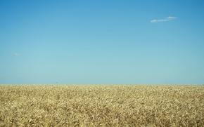 Картинка пшеница, поле, безмятежность, голубое небо