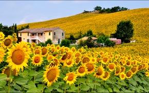 Картинка поле, небо, цветы, дом, холмы, подсолнух, Италия