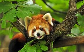 Картинка ветки, дерево, Красная, панда