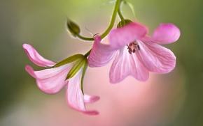 Обои цветы, розовые, герань, фон