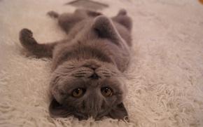 Картинка кошка, лежит, британская