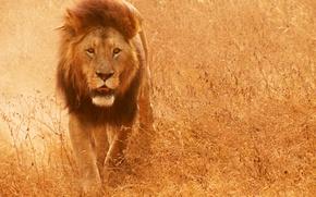 Картинка кошка, трава, лев, грива, саванна, lion