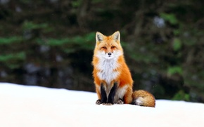 Картинка зима, лес, снег, лиса, лис