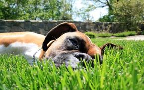 Картинка трава, собака, пес