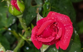 Картинка капли, макро, роза, бутоны