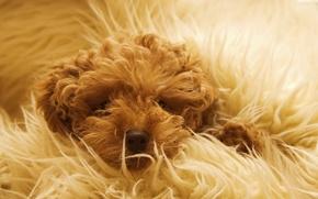 Картинка собака, шерсть, одеяло