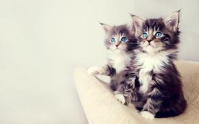 Обои взгляд, котята, глаза