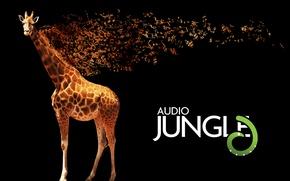 Обои желтый, буквы, ноты, музыка, животное, жираф, пятна, черный фон, коричневый, слова, мелодия, окраска, giraffe, camelopard, ...