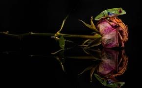 Картинка лягушка, зеленая, засохшая, цветок, роза