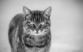 Картинка кошка, кот, усы, мордочка, черно-белое